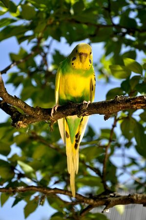 budgie: budgie in a tree Stock Photo