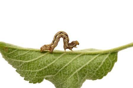 caterpillar on green leaf Stock Photo