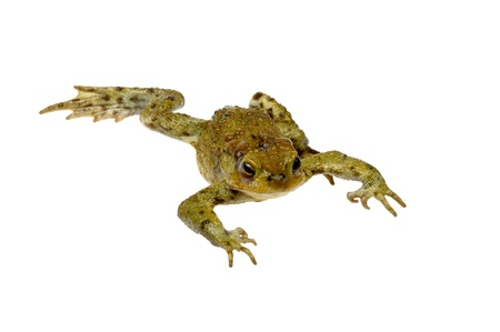 warts: toad on a white Stock Photo
