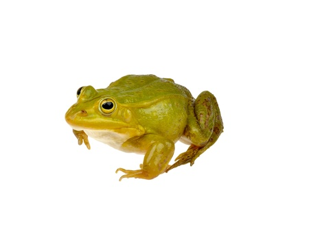 dissect: green frog