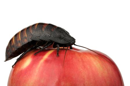 madagascar hissing cockroach: Madagascar hissing cockroach on a red apple Stock Photo