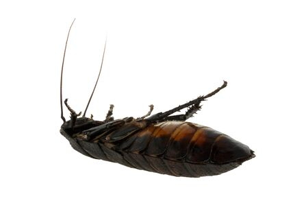 chitin: dead cockroach Madagascar isolated on white background Stock Photo