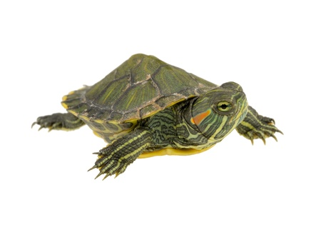 small water turtle isolated on white background