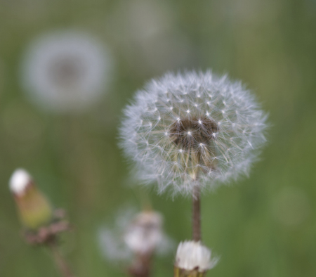 White fluffy dandelions, natural green blurred background