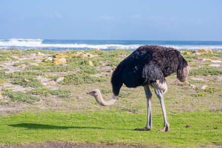 Ostrich searching for food near ocean with crashing waves 版權商用圖片