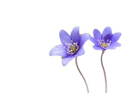 Two beautiful violet blossom on a white background
