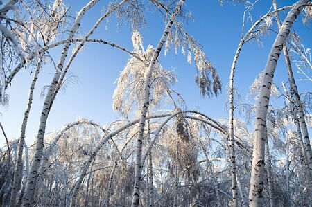 Broken and bent birch trees after a heavy snowstorm photo