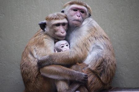 Family monkeys Stock Photo