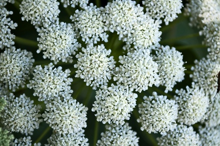 small white flowers photo
