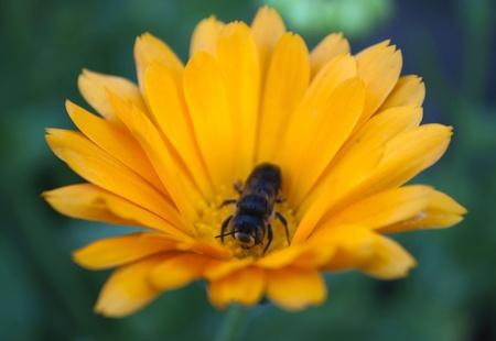 calceolaria: Immagine della bella fiori e api