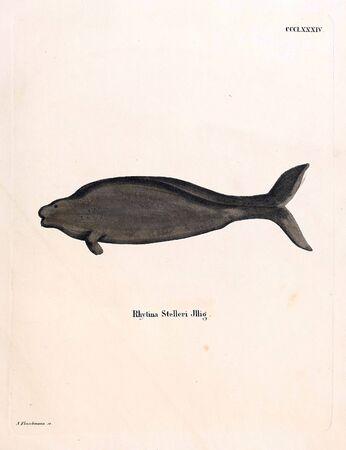 Ancient illustration of the animal. Hand-drawn.