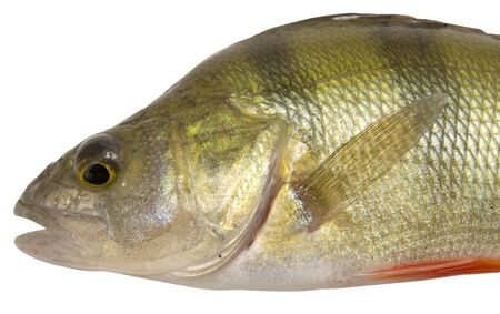 close up view of perch isolated on white Stock Photo - 5594151