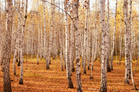 Otoño abedul bosque Foto de archivo - 15755522