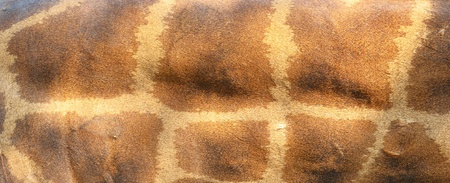 giraffe skin background photo