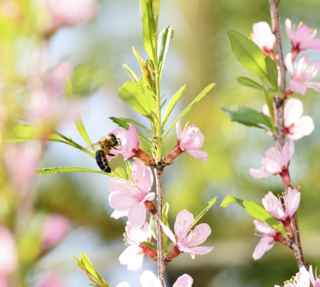 pollinator: A bee gathers pollen from a cherry flower