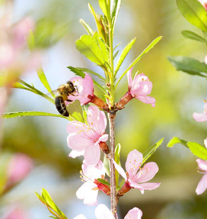 insecta: A bee gathers pollen from a cherry flower