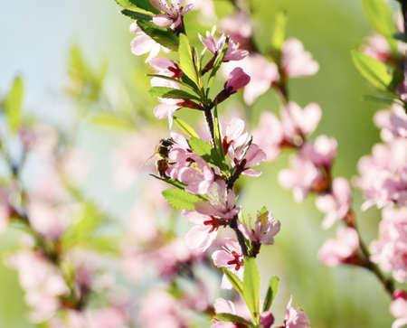 gathers: Un ape raccoglie il polline da un fiore di primavera