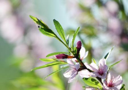 Spring season - pink flowers of cherry photo