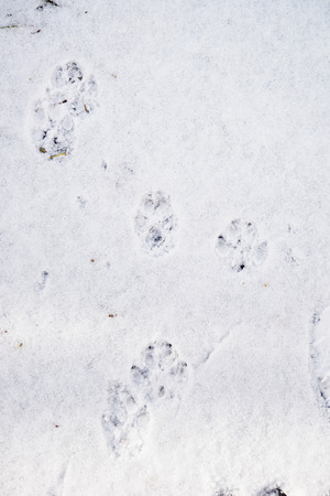 Pawprints of a dog on snow stock photo picture and royalty free dog tracks on fresh snow photo publicscrutiny Choice Image