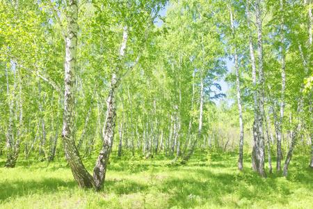 여름 자작 나무 숲, 아름다운 풍경