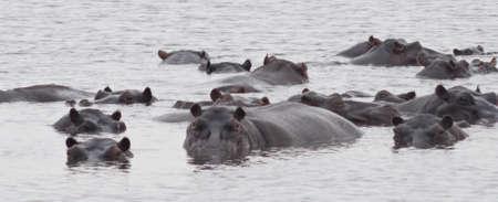 hippos in a leke