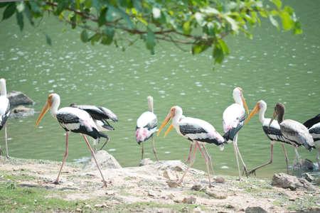 Painted storks near lake