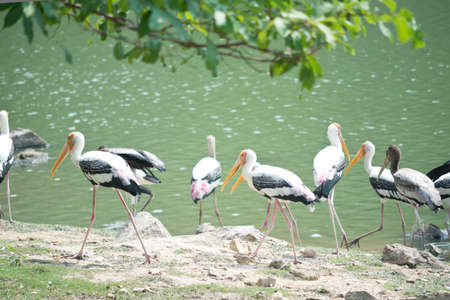Painted storks near lake