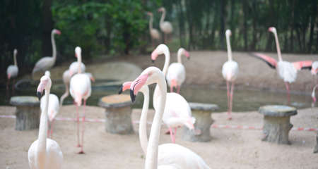 Pink flamingoes in the Zoo