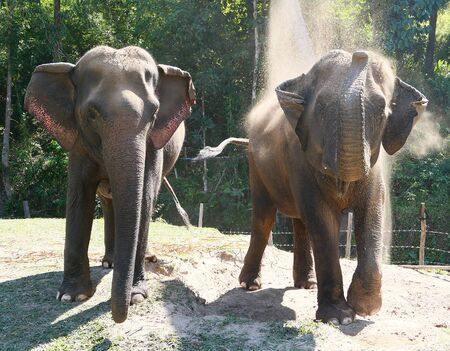 Two asian elephants enjoying the dust