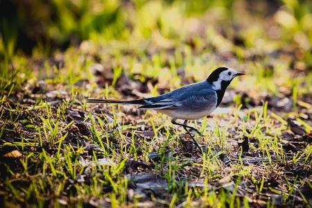 motacillidae: White Wagtail