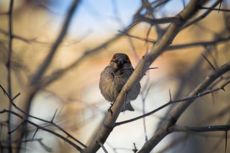 chipping: Chipping Sparrow