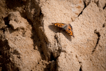 morpho menelaus: butterfly on wood with sand Stock Photo
