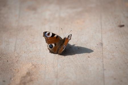 morpho menelaus: mariposa en madera con arena