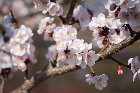 Flowers of an apricot tree on a blue background closeup