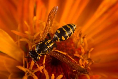 Wasp close up photo
