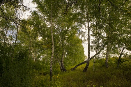 birchwood: Beautiful landscape - summer birchwood