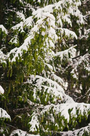 evergreen branch: Rama de �rbol de hoja perenne abeto con nieve fresca