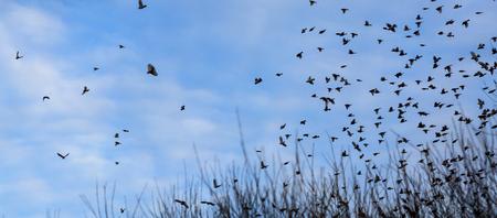 cloud drift: Fall - flock of birds  migrating south