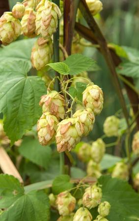hopfield: ripened hop cones in the hop  garden