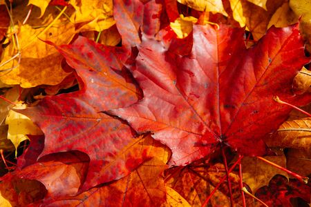 tree top view: Background of red autumn leaves on  forest floor