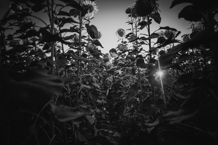 black and white photography: Black white photography romantic couple standing  and kissing on background summer meadow sunflower  sunset Stock Photo