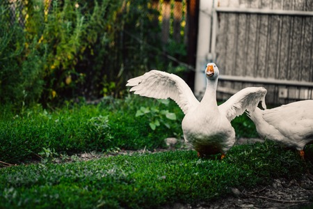 angry goose walking in the village on the lawn.