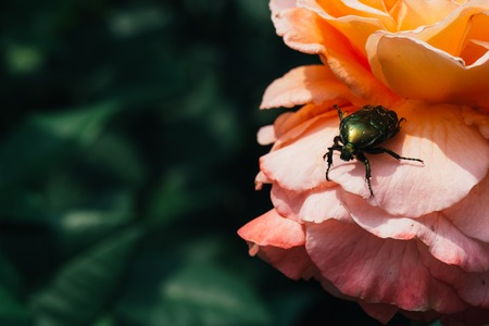 Golden chafer on pink rose leaves background.