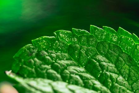 lemon balm: Fresh green mint close-up on a dark green background. Stock Photo