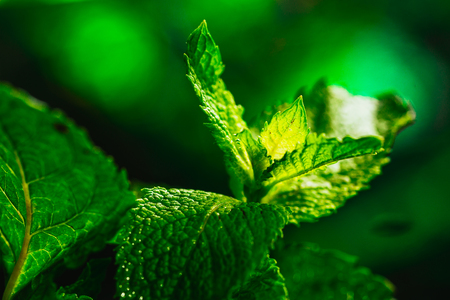 Fresh green mint close-up on a dark green background. Stock Photo