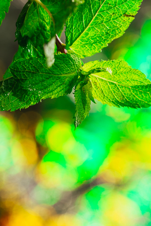 field mint: fresh green mint on a blurred background.