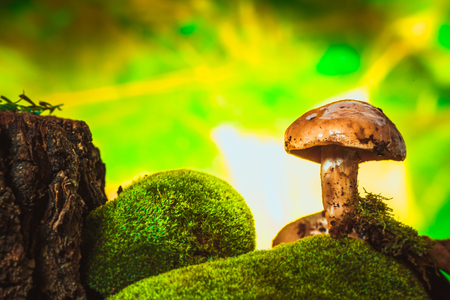 ochre: dark mushrooms on moss with a wet hat on blurred background.