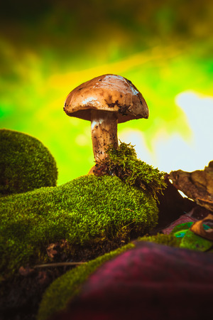 dark mushrooms on moss with a wet hat on blurred background.