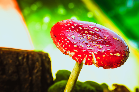 beautiful red with white spots mushroom on moss.