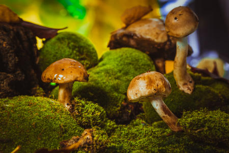 dark mushrooms on green moss with a wet hat.